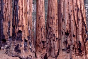 1525 Sequoia