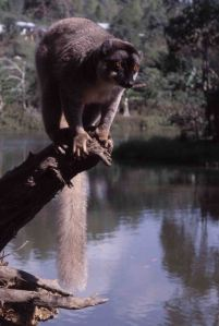 0434 Brown lemur2